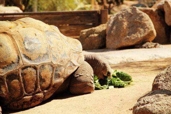 Cuales son los animales extinguidos de la ultima decada tortuga gigante pinta
