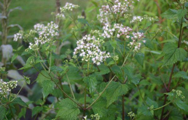 Plantas mas venenosas Ageratina altissima