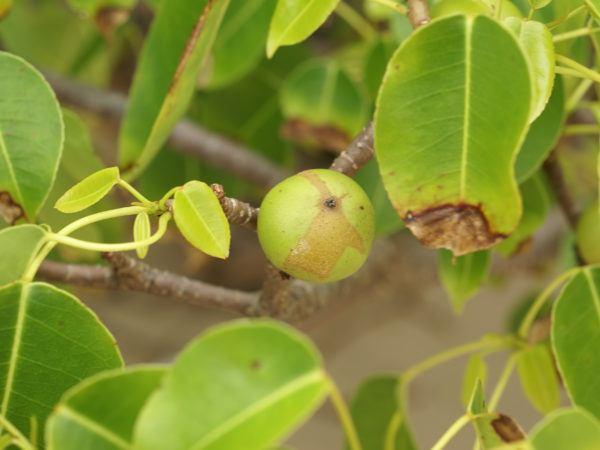 Plantas mas venenosas Manzanilla de la muerte