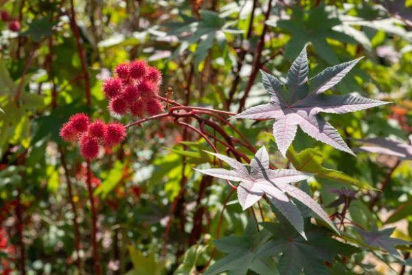 Plantas mas venenosas ricino