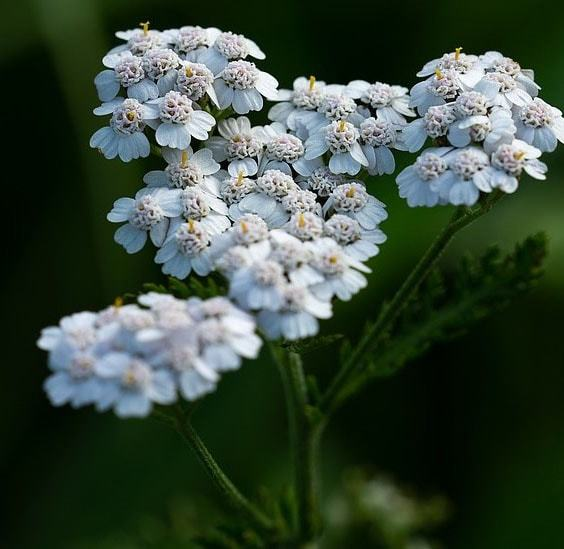 Flores de verano achilleas
