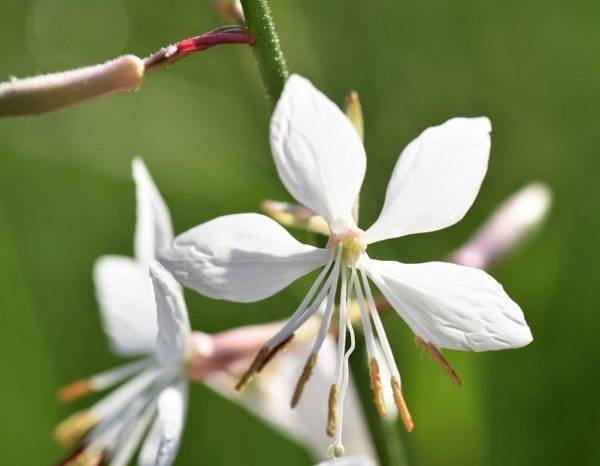 Flores de verano gaura