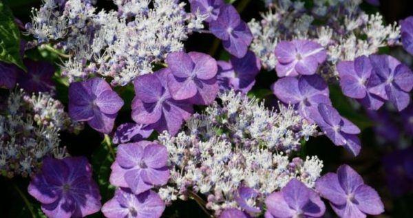 Flores de verano hortensias