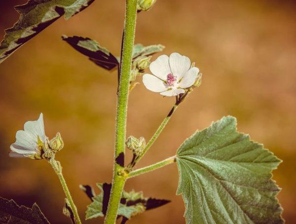 Flores de verano malvaviscos