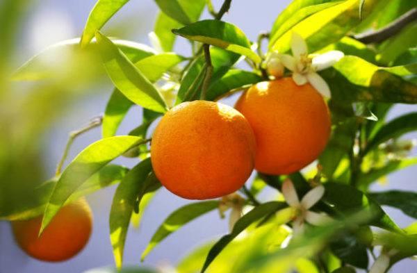 Frutas de otoño naranjas