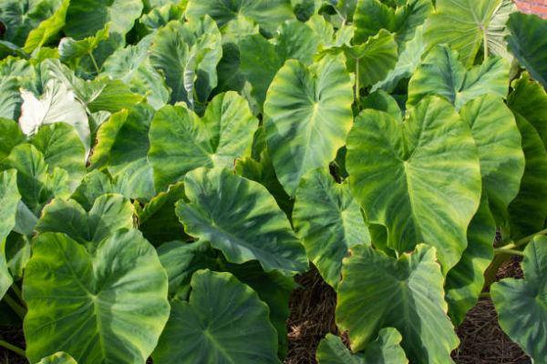 Plantas comunes podrian matarte Colocasia