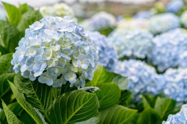 Plantas comunes podrian matarte Hortensias