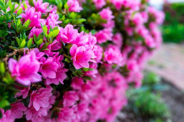 Plantas comunes podrian matarte azaleas