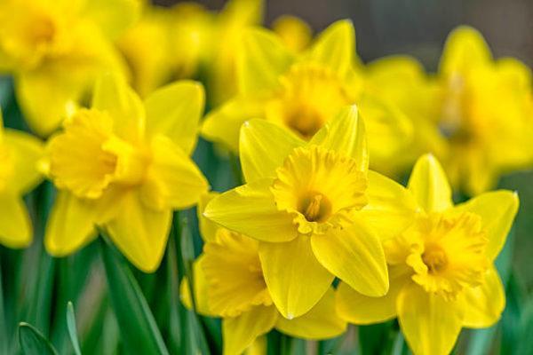 Plantas comunes podrian matarte narciso