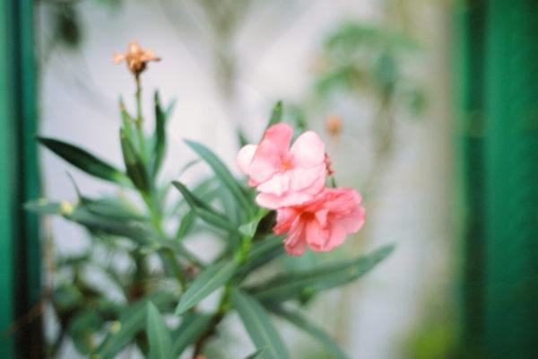 Laurier-rose