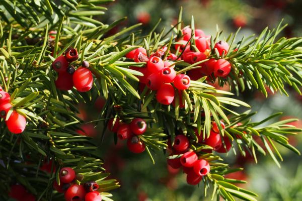 If Taxus baccata