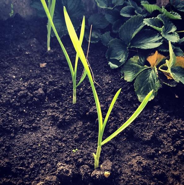 Cuándo y cómo se plantan los ajos riego por goteo
