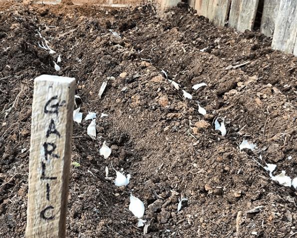 Cuándo y cómo se plantan los ajos huerto