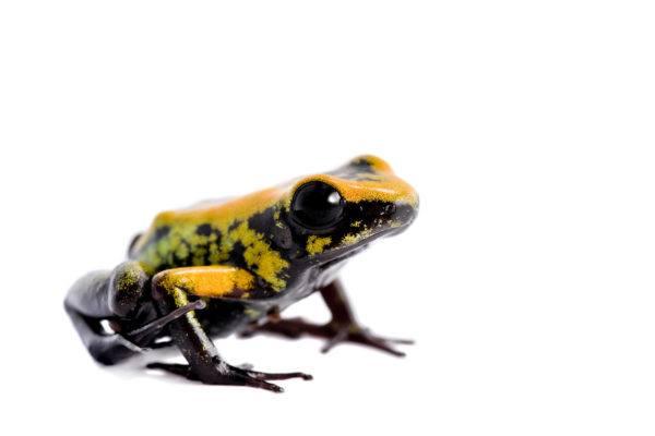 Las ranas bonitas podrian matarte rana dardo de patas negras