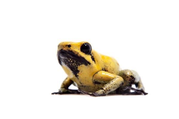 Las ranas bonitas podrian matarte rana dardo patas negras