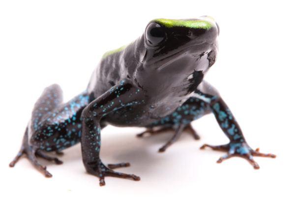 Las ranas bonitas podrian matarte rana venenosa de kokoe