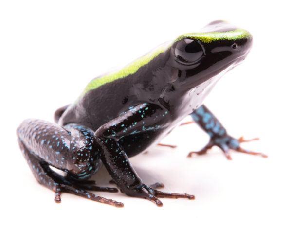 Las ranas bonitas que podrian matarte rana venenosa de kokoe