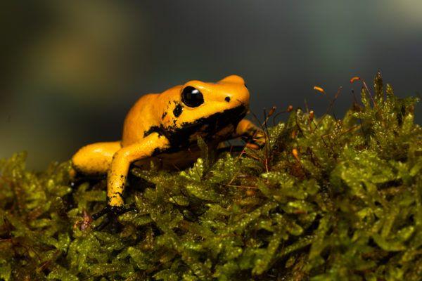 Las ranas bonitas que podrian matarte rana venenosa dorada