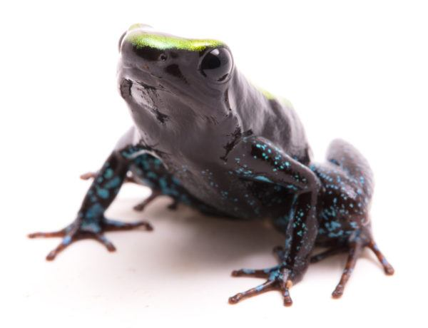 Las ranas bonitas que podrian matarte rana venenosa kokoe
