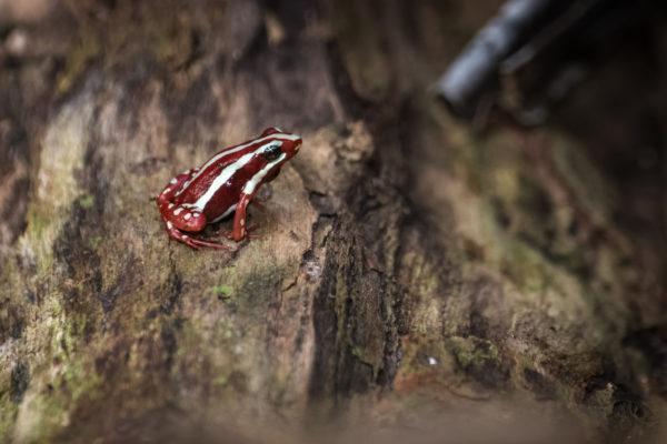 Las ranas mas bonitas que podrian matar rana venenosa fantasmal