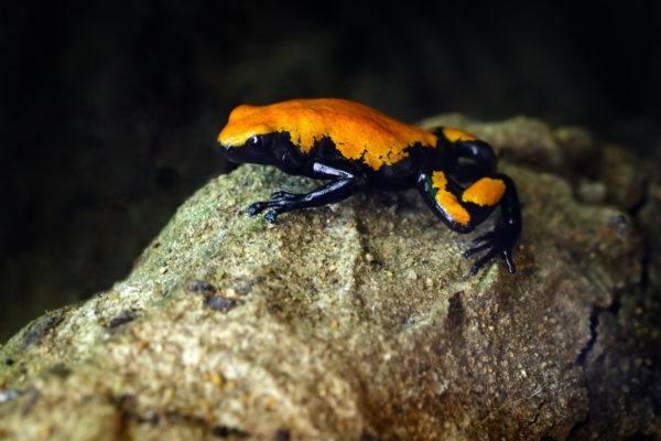 Las ranas mas bonitas que podrian matarte la rana venenosa salpicada