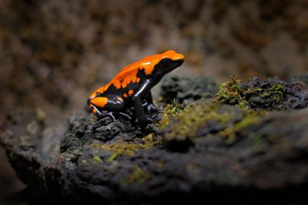 Las ranas mas bonitas que podrian matarte rana salpicada