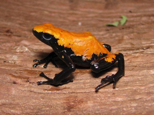 Las ranas mas bonitas que podrian matarte rana venenosa salpicada