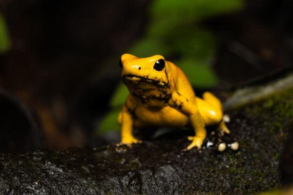 Las ranas podrian matarte rana venenosa dorada