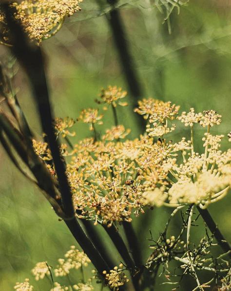 Las propiedades, los beneficios y los usos del hinojo planta flores