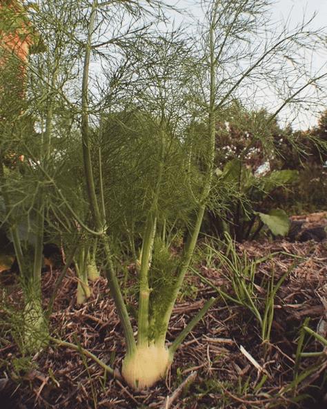 Las propiedades, los beneficios y los usos del hinojo plantado