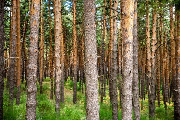 Razones bosques son importantes arboles pinos