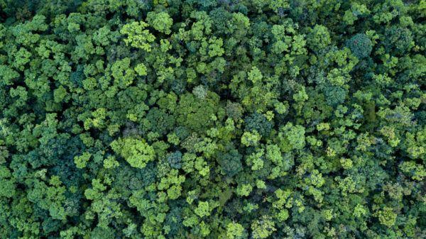 Razones bosques son importantes pinos verde