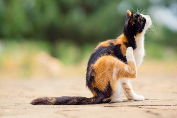 Alergias gatos sintomas pronostico tratamiento