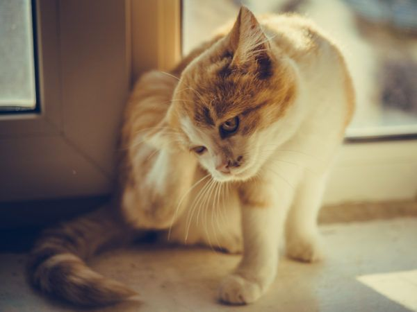 Alergias gatos tratamiento