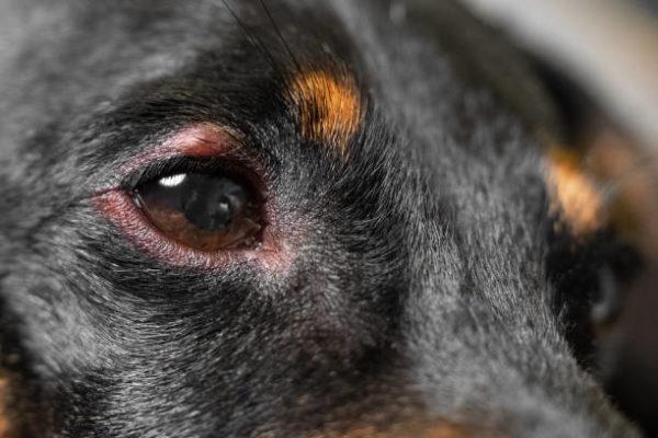 Alergias perros sintomas pronostico picor