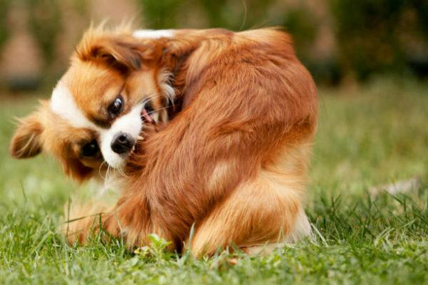 Alergias perros sintomas pronostico tratamiento picor