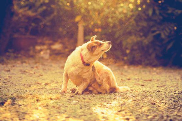 Alergias perros tratamiento