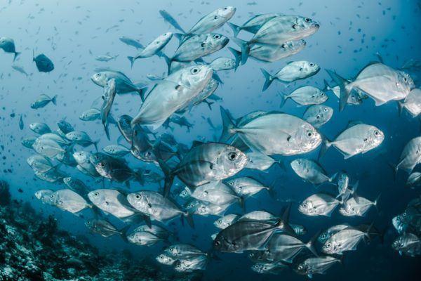 Animales que viven en el Mar Mediterráneo atún rojo