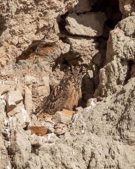 Animales que viven en el Mar Mediterráneo búho real
