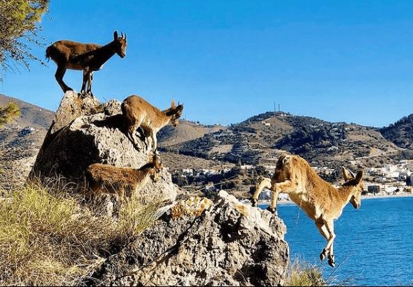 Animales que viven en el Mar Mediterráneo cabra montesa