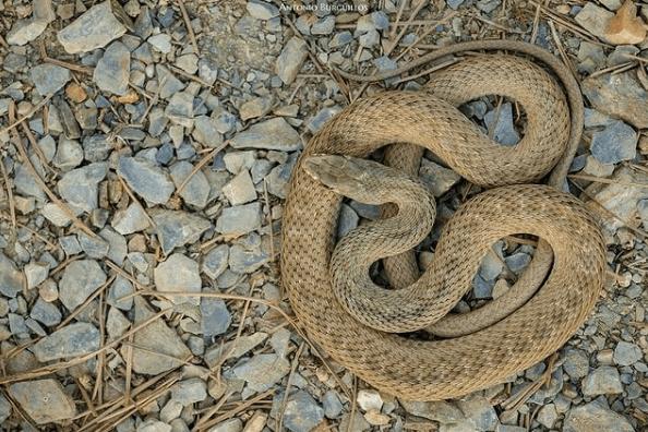 Animales que viven en el Mar Mediterráneo culebra bastarda