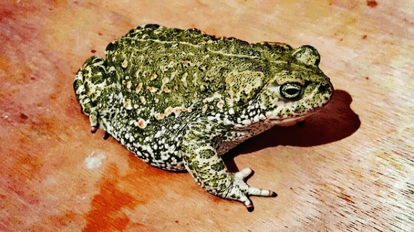Animales que viven en el Mar Mediterráneo rana