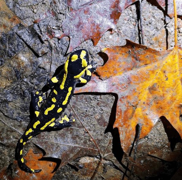 Animales que viven en el Mar Mediterráneo salamandra