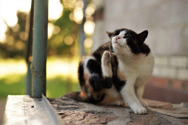 Las alergias gatos sintomas pronostico tratamiento