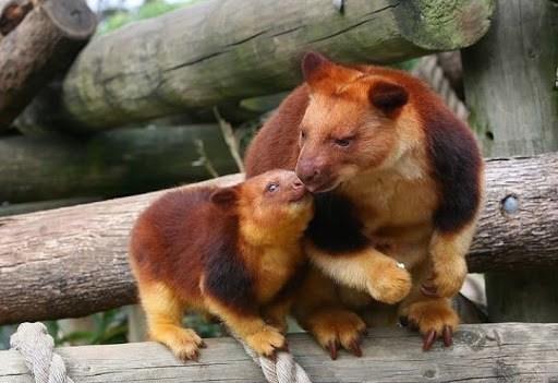 Animales peligro extincion deforestacion canguro arbol