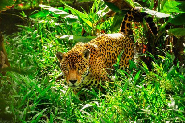 Animales peligro extincion deforestacion jaguar