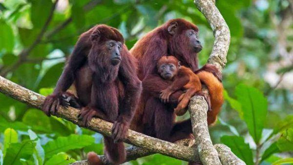 Animales peligro extincion deforestacion mono aullador