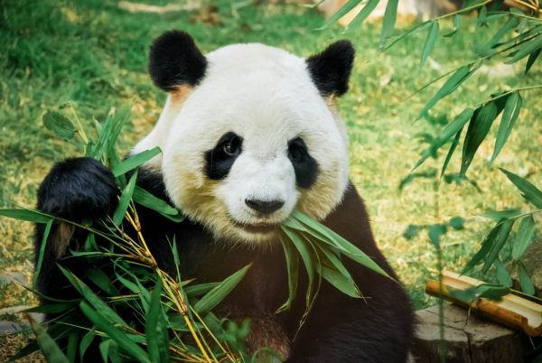Animales peligro extincion deforestacion panda gigante