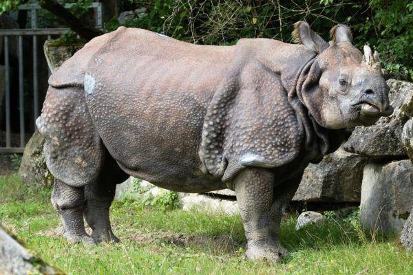 Animales peligro extincion deforestacion rinoceronte 2