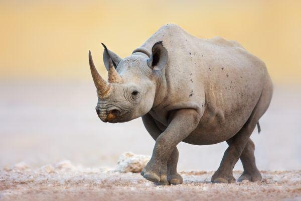 Animales peligro extincion deforestacion rinoceronte